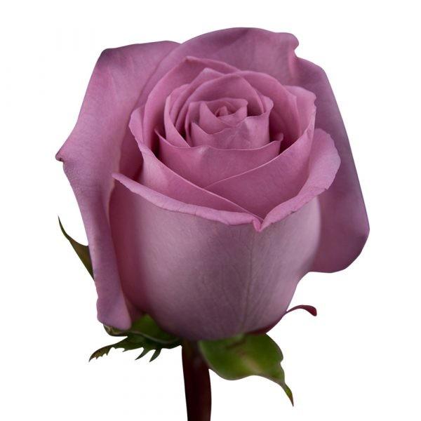 КОПИЯ Роза сиреневая