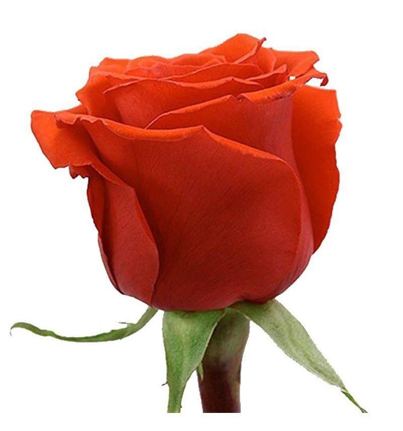 Роза рыжая